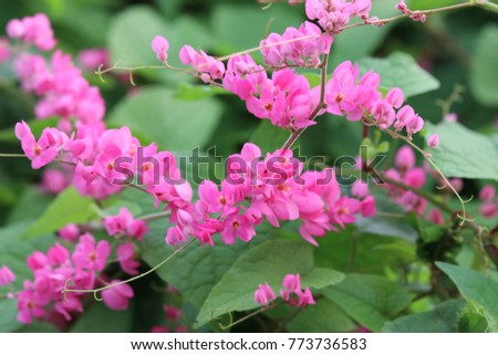 Mexican creeper pink flowers blooming vine plant beautiful mexican creeper pink flowers blooming vine plant beautiful background mightylinksfo