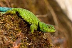 Mexican emerald spiny lizard (Sceloporus formosus), Mexico
