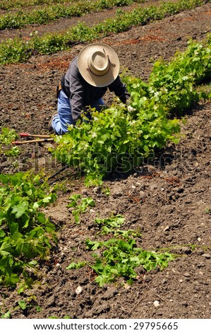 Mexican farm worker culling, pruning, and weeding grape plants by hand in Kern County, California vineyard