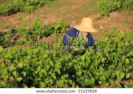 Mexican farm worker trims grape plants in California