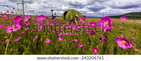 Mexican farmer on the way home from a hard days work in the fields with his donkey loaded with long grass for feeding his cows at home. The purple daisies set the shot off to show colorful landscape.