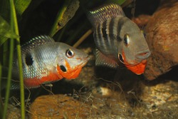 Mexican Fire Mouth (Thorichthys meeki) - Couple with juveniles