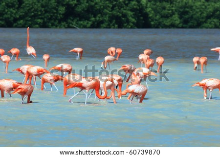 Mexican flamingos wade in lagoon and feed - stock photo