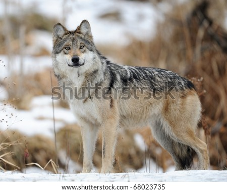 Mexican gray wolf (Canis lupus baileyi) - stock photo