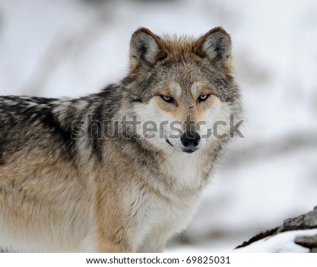 Mexican gray wolf (Canis lupus baileyi) in winter
