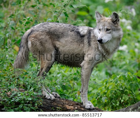 Mexican gray wolf (Canis lupus) on log