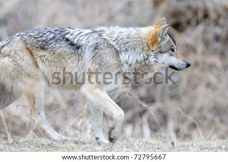 Mexican gray wolf (Canis lupus) walking