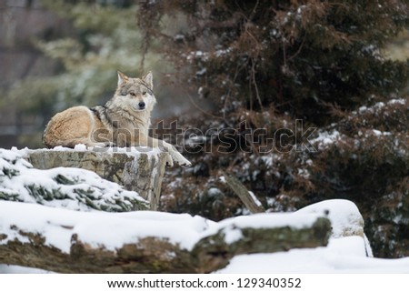 Mexican gray wolves (Canis lupus) in the snow