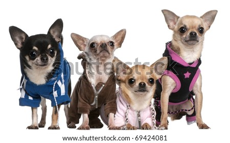 Mexican Hairless dog and Chihuahuas in front of white background