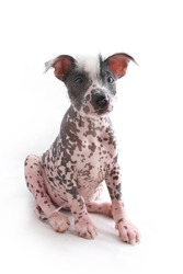 Mexican Hairless Dog sitting in upright position