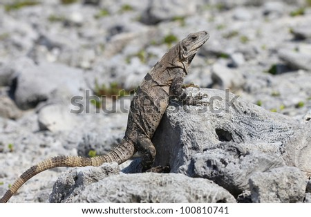 Mexican iguana leaning on a dead coral