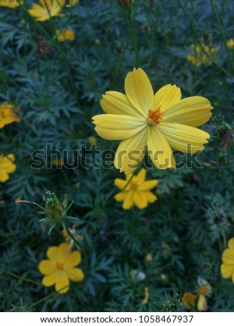Mexican Marigold (Tagetes lemmonii) also known as Lemmon's Marigold or Copper Canyon Daisy #1058467937