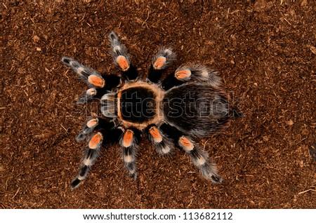 Mexican red knee tarantula (Brachypelma smithi)
