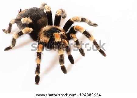 Mexican Redknee spider - Brachypelma smithi on a white background