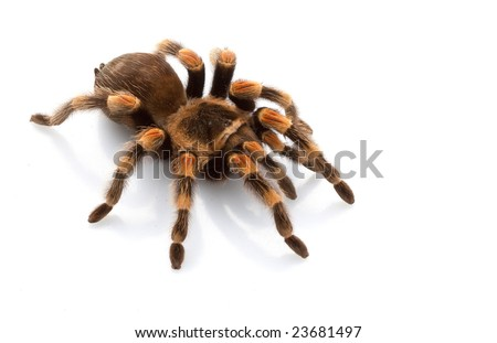 Mexican Redknee Tarantula (Brachypelma smithi) isolated on white background. - stock photo