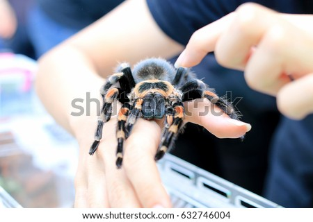 Mexican Redknee Tarantula (Brachypelma smithi) walking on female hand.
