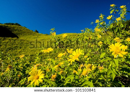 Mexican sunflower mountain in Maehongson Province, Thailand