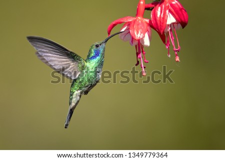 Mexican violetear (Colibri thalassinus) is a medium-sized, metallic green hummingbird species commonly found in forested areas from Mexico to Nicaragua.  #1349779364