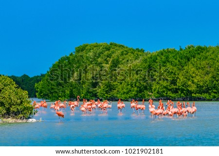 Mexico. Celestun Biosphere Reserve. The flock of American flamingos (Phoenicopterus ruber, also known as Caribbean flamingo) feeding in shallow water