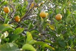 Meyer lemons ripening on the tree