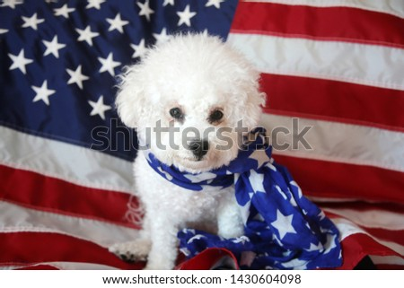 Mia the Bichon Frise Celebrates the Forth of July with an American Flag. Forth of July with a small white dog. Mans best friend celebrates independents day in america.  Stock fotó ©