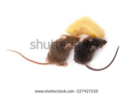 mice and cheese isolated on a...