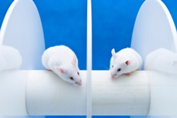Mice are placed on the rotating rod to animal test