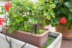 Micro drip irrigation system. Drip irrigation watering emitter in a flowerpot. Home gardening
