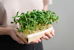 Micro green sprouts in female hands in a box. Sprouted sunflower seeds. Vegan, sustainable lifestyle concept