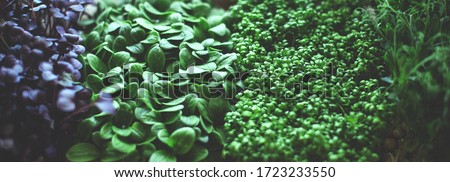 Micro green superfood close up: cucumber, watercress, radish and peas. Healthy lifestyle. Foto stock ©