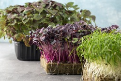 Micro greens sprouts of purple radishes and fennel on grey background. Concept of superfood and healthy organic food