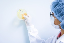 Microbiologist wear sterile gloves and holding the petri dish with yellow colony of fungi, concept of microbial laboratory in pharmaceutical industry.