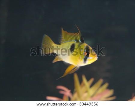 Shutterstock Microgeophagus ramirezi, aquarian small fish from Amazon