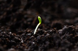 Microgreen. A small green macro sprout. Micro greenery growing close-up. Spring symbol, concept of a new life.