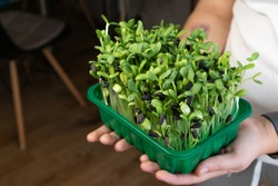 Microgreen sunflower sprouts in female hands. Raw sprouts microgreens, ealthy eating.