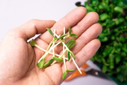 Microgreen sunflower sprouts in man hands. Raw sprouts microgreens, ealthy eating.