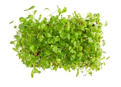 Microgreens, micro greens - cilantro seedlings, sprouted cilantro seeds isolated on white. Vegan, vegetarian and healthy eating concept. Gardening concept. Top view.