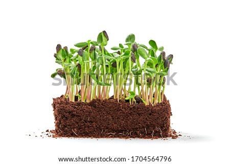 Microgreens sprouts isolated on white background. Vegan micro sunflower greens shoots. Growing healthy eating concept. Sprouted sunflower seeds, eco soil substrate, microgreens, minimal design Photo stock ©