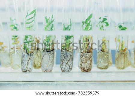 Microplants of cloned willows (Salix) in test tubes with nutrient medium. Micropropagation technology in vitro. ストックフォト ©