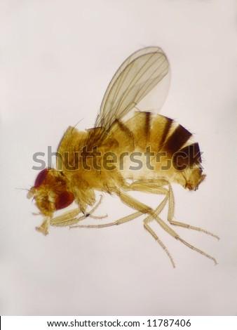 Microscopic Educational.  A female Drosophila melanogaster (fruit fly), whole mount.