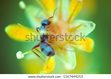 microscopic flower the size of an ant attracts insects with an abundance of nectar. Foraging ant. Window into world of ultra macro, mountain tundra higher Arctic circle, Scandinavia