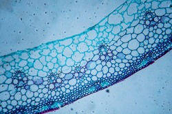 Microscopic image of wheat stem cross section