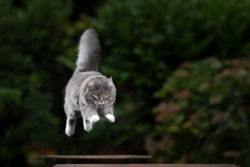 mid air shot of a blue tabby maine coon cat with fluffy tail jumping from one table to another outdoors in the back yard