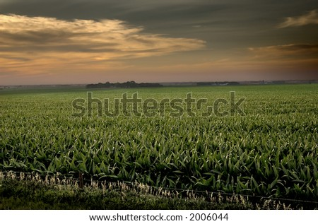 Mid-summer cornfield in the early evening.