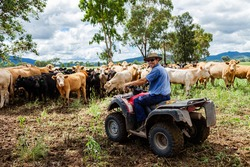 Middle aged Aussie farmer on his quad boke with cattle on beef farm in NSW Australia