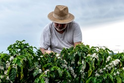Middle-aged farmer analyzes the flowering of a coffee plantation background, in Brazil