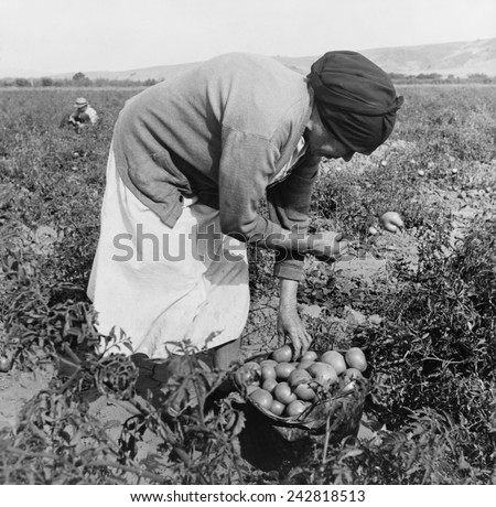 Middle-aged Mexican-American migrant woman, bend over while harvesting tomatoes in the Santa Clara Valley, California. November 1938 photograph by Dorothea Lange.