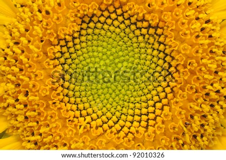 Middle of Sunflower Close-Up
