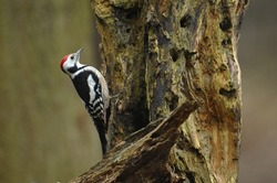 Middle spotted woodpecker (Dendrocopos medius)