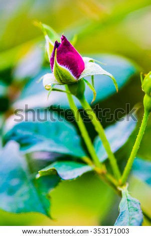 Midnight Blue Rose or Dark Red Rose in Garden, Thailand. #353171003
